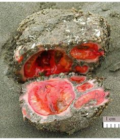 Tunica Rock (Pyura chilensis) - marine invertebrate that looks like a rock with gross bloody organs.