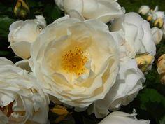 Rosa 'Taxandria'  Martin Vissers 2008