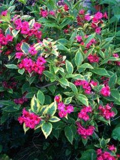 131 Best Flowers Weigelas Images Shrubs Garden Shrubs