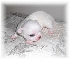 chiot chihuahua blanc de l'élevage de nottingley