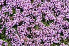 11 Best Evergreen Ground Cover Plants That Make Your Garden Look Greener & Better | Green and Vibrant Zone 8 Plants, Plant Zones, Pool Plants, Sun Plants, Outdoor Plants, Outdoor Spaces, Creeping Thyme, Creeping Phlox, Evergreen Ground Cover Plants