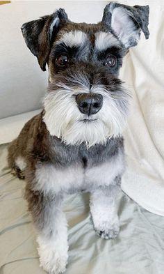 Schnauzer Cut, Schnauzer Grooming, Standard Schnauzer, Miniature Schnauzer Puppies, Super Cute Puppies, Cute Dogs And Puppies, Pet Dogs, Dog Cat, Doggies