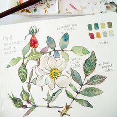 Morning sketch.(at the same time testing some hands on stuff) Simple wildrose with hips and buds. 😃 Might scratch this sample. If you want to learn roses with me, sign up for my workshop! See my feed for the poster! 😊 #art #artph #guhitpinas #watercolor #watercolorph #watercolorart #watercoloristsph #aquarelle #illustration #florals #rose #watercolorillustration #beauty #beautiful #nature #artdaily #instaart #botanicals #sketch
