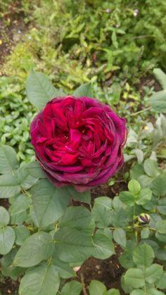 Astrid gräfin von hardenberg rose