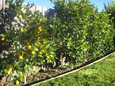 For a number of years here at Chez Blueday we have been growing food that doesn't always make it to the plate. Espalier Fruit Trees, Dwarf Fruit Trees, Front Yard Hedges, Front Yard Landscaping, Front Fence, Side Garden, Veg Garden, Back Gardens, Outdoor Gardens