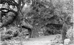 "Front of a postcard (ca. 1960s) of the ""Tree of Peace"" or ""Oak of Peace"" where Jesus Pico, acting as emissary for General J. C. Fremont, met with his brother General Andres Pico to negotiate terms of peace between the United States and Mexico in 1847. San Fernando Valley History Digital Library."