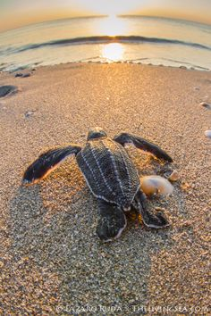 Sea #turtle on the #beach