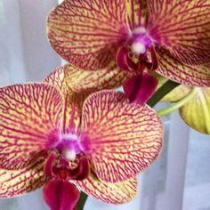Birthday Phalenopsis Dream Garden, Orchids, Birthday, Plants, Birthdays, Lily, Plant, Orchid, Dirt Bike Birthday