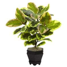 Variegated Rubber Leaf with Planter