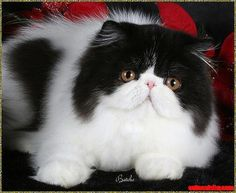 Persian cat - http://cutecatshq.com/cats/persian-cat-2/
