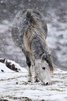 Ein Pferd sucht im Schnee nach Futter. #APASSIONATA                                                                                                                                                                                 Mehr