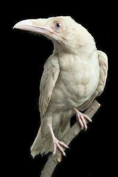 This is Pearl, a perfectly white Raven