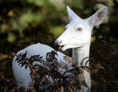 Albino animals - An albino white tail deer is seen in a wooded area in Boulder Junction, Wis.    Read more: http://www.nydailynews.com/life-style/albino-animals-gallery-1.26671#ixzz24UGkPFwh