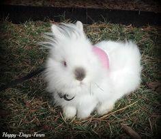 This is Sugar, the Lionhead bun:)