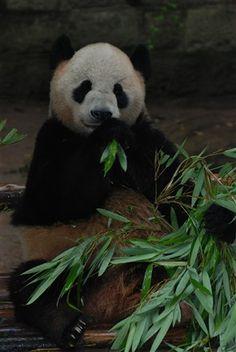 Giant panda at Chongqing Zoo  by cace22
