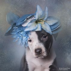 10 Pics From 'Pit Bull Flower Power' Campaign Helping Pits Find Homes Cute Puppies, Cute Dogs, Dogs And Puppies, Doggies, Animals And Pets, Cute Animals, American Pitbull, Pit Bull Love, Beautiful Dogs