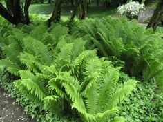 einheimische pflanzen This listing is for spores from the Ostrich Fern, Matteuccia struthiopteris. The Ostrich Fern grows fronds up to feet long at maturity, they like d Plants, Woodland Garden, Landscape Design, Shade Perennials, Outdoor Gardens, Perennials, Ferns Garden, Shade Plants, Ostrich Fern