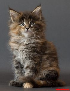 Price range of Maine Coon Kitten.Click the picture to read i want a Maine Coon kitty right meow! Beautiful Cat Breeds, Beautiful Cats, Animals Beautiful, Cute Animals, Hello Beautiful, Chat Maine Coon, Maine Coon Kittens, Kittens Cutest, Cats And Kittens