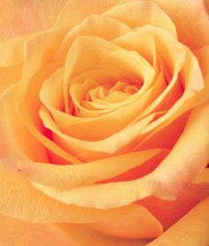 Orange Beauty by on DeviantArt Fleur Orange, Pale Orange, Orange Roses, Orange Crush, Orange Color, Colour, Yellow, Pretty Roses, Beautiful Roses