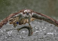 Osprey and his prey Inspirational Photo of the Day May 11 2017 – PhotographyTalk – Medium