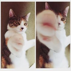 にゃーんパーンチッ   #猫#ねこ#cat#にゃんこ#三毛猫 #ねこら部#三毛猫部#にゃんすたぐらむ #にゃんぱんち#みく  by yuka_tkyk http://www.australiaunwrapped.com/