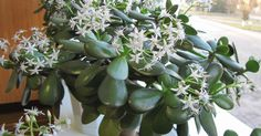 Je neuveriteľné, aké liečivé účinky má táto rastlina, ktorú som mala po celé tie roky doma. Pozrite sa na to aj vy | Chillin.sk