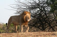Male Lion, Phinda, Phinda Game Reserve