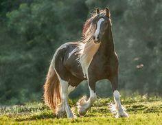 1560-182.jpg :: Gypsy Vanner Horse mare