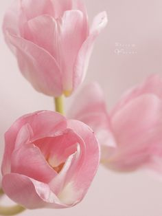 Softest Pink Tulips by Carol's Country Sunshine Pink Tulips, Pink Roses, Pink Flowers, Pale Pink, Pastel Roses, Pink Petals, My Flower, Pretty In Pink, Beautiful Flowers