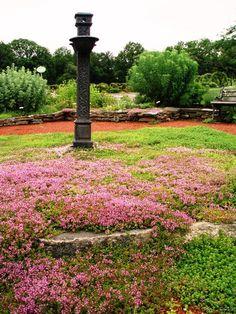 Thyme in the Herb Garden at Elizabeth Park, Hartford, CT.