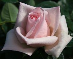 Royal Highness - hybrid tea rose