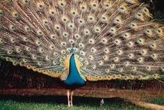 A peacock coop should give your peacock a safe, comfortable place to live with plenty of room for his huge tail feathers, known as the train. Since his train can extend up to 5 feet behind him or as . Peacock And Peahen, Male Peacock, Duck Or Rabbit, Guinea Fowl, Peafowl, Hobby Farms, Livestock, Bird Houses, Animales