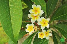 Die paradiesische Frangipaniblüte. Sie ist sofort in den Top3 meiner Lieblingsblumen gelandet. Mehr über unsere Reise durch Kombadscha gibts hier: http://ift.tt/2bl3yfo
