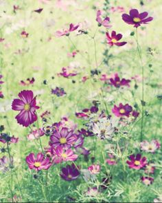 Purple Cosmos Flower | Garden by the sea - Fine Art Photography blog by Lupen Grainne