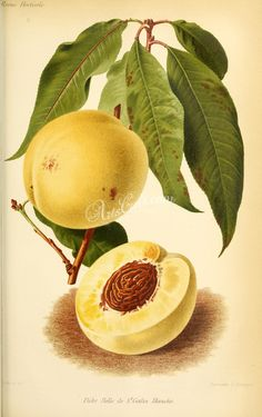 95dfffe82590 fruits-04167 - Peach  3056x4864  · Vintage Botanical PrintsAntique ...