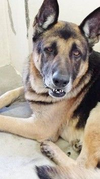 Handsome senior German shepherd seeks new home. BLASTER is 7 years old and unfortunately is at the Carson Shelter in Gardena, CA. It's a kill shelter and he needs our help right away. Please repin and share far and wide!!!