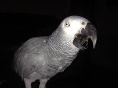 LOST AFRICAN GREY: 08/14/2017 - Anderson, California, CA, United States. Ref#: L35339 - #CritterAlert #LostPet #LostBird #LostParrot #MissingBird #MissingParrot #LostAfricanGrey #MissingAfricanGrey