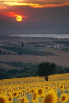 Sunflowers brighten up the Tuscan countryside, Italy.