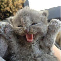 Russian blue kitten (so perfect)