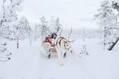 Reindeer in Levi in Lapland, Finland: reindeer rides and safaris