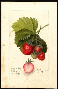 Strawberries - Dayton (1909). Illustration by Deborah Griscom Passmore (1840-1911).Image and text courtesy U.S. Department of Agriculture Pomological Watercolor Collection. Rare  and Special Collections, National Agricultural Library, Beltsville, MD  20705