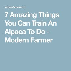 7 Amazing Things You Can Train An Alpaca To Do - Modern Farmer