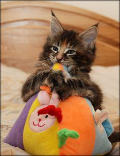 maine coon kittens Villa Park*PL