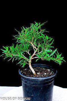 Willow Leaf Ficus Pre-Bonsai Tree
