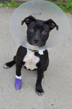 PINKIE PIE - A1036098 - - Brooklyn  TO BE DESTROYED  05/22/15 Pinkie Pie most certainly is the most delicious cutie on the block. It's hard to believe that some people are put off by black dogs because we could just squeeze the stuffing out of this little angel. You probably guessed that Pinkie is still very young and you'd be right. She's just 9 months old and may even have a bit of growing yet to do. We believe that Pinkie Pie has been well cared for as evidenced by