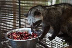 The story behind the most expensive gourmet coffee in the world: Kopi luwak - Cat-Poo-Ccino.