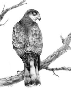 Sparrowhawk Bird Drawing by bird artist Phil Mumby