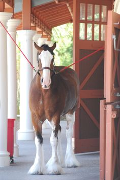 Clydesdale Horse - Anheuser-Busch Clydesdale