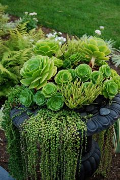 Beautiful urn with hen and chicks and a very nice showing of string of pearls hanging over edge LINDO VASO DE SUCULENTAS Succulents In Containers, Container Plants, Cacti And Succulents, Planting Succulents, Container Gardening, Planting Flowers, Container Design, Flowers Garden, Unique Gardens