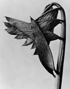 Available for sale from Winter Works on Paper, Karl Blossfeldt, Plant Form 17 (ca. Archival Giclee, 20 × 16 in Straight Photography, Fine Art Photography, Nature Photography, Karl Blossfeldt, Natural Form Art, Royal Art, Dark Flowers, Science Art, Botanical Art